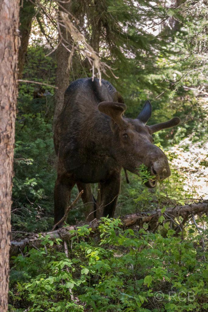 Elch, Cascade Canyon, Grand Teton NP