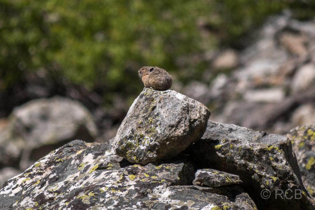 Pika, Cascade Canyon, Grand Teton NP
