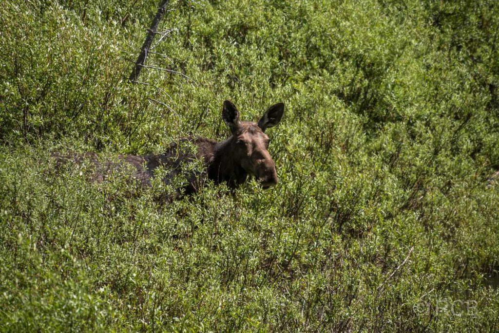 Elchkuh, Cascade Canyon, Grand Teton NP