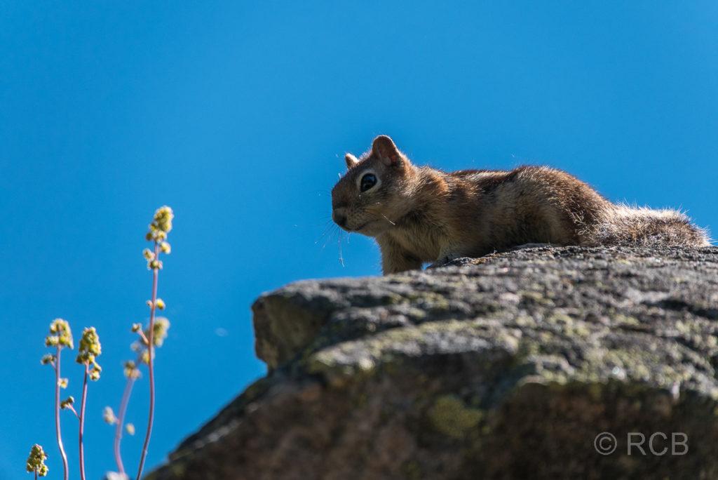 Streifenhörnchen, Cascade Canyon, Grand Teton NP