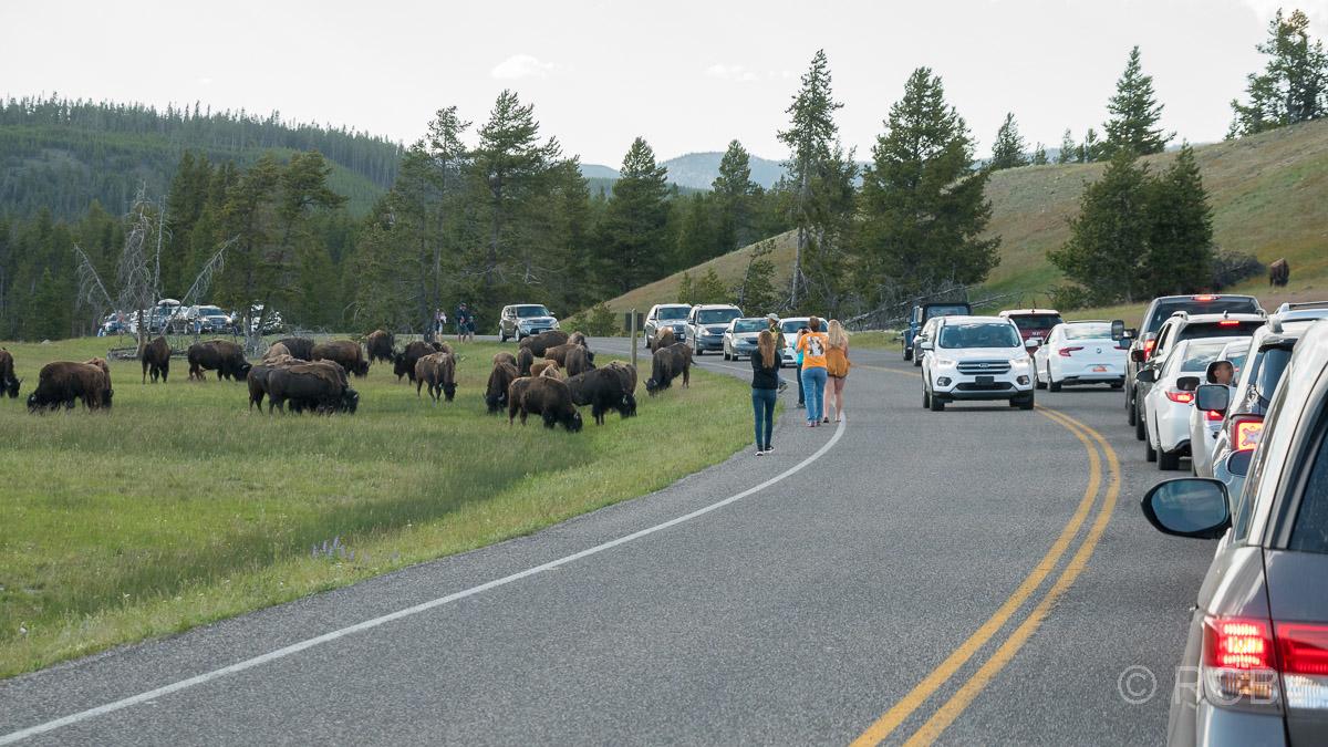 Autostau auf einer Straße im Yellowstone NP mit laufenden Menschen und einer Bisonherde am Straßenrand