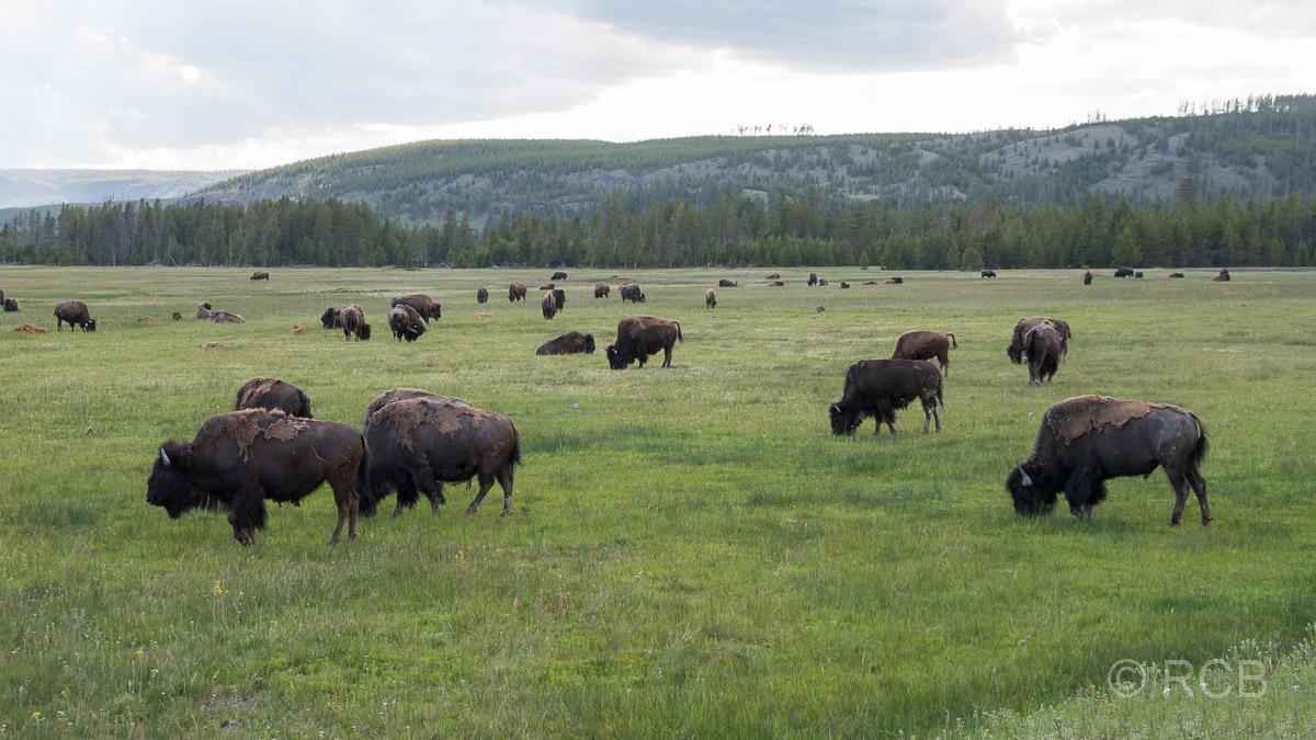 Bisonherde grast auf einer Wiese im Yellowstone NP