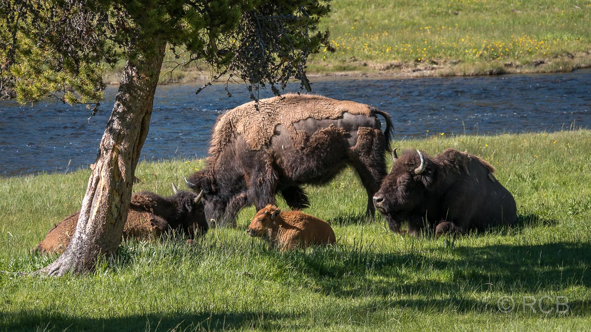 Bisonherde am Firehole River im Yellowstone NP