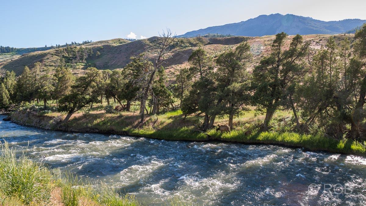 Wapitihirsche am Gardiner River, Yellowstone NP