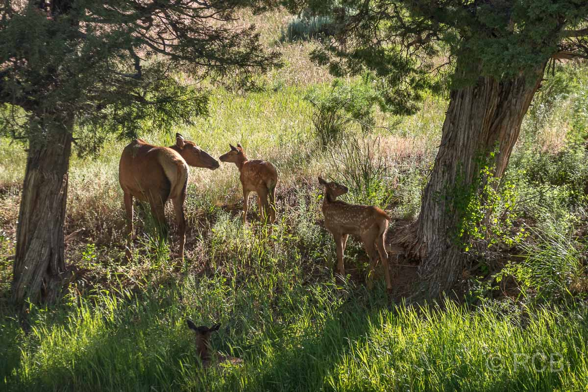 Wapitikuh mit Kitzen am Gardiner River, Yellowstone NP