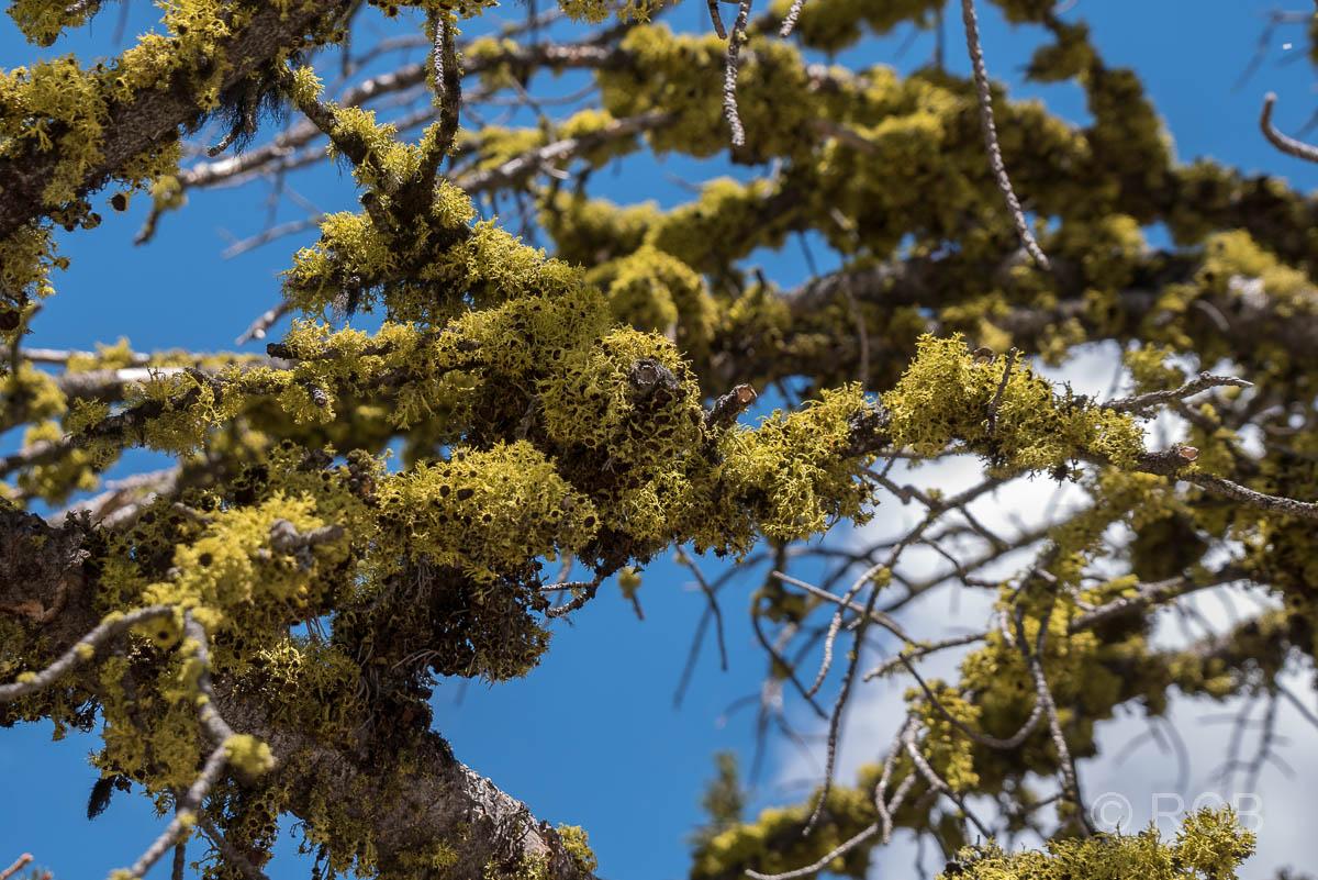Flechten am Mount Washburn Trail, Yellowstone NP