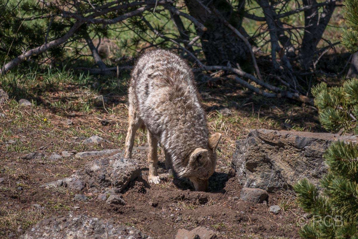Koyote, Mount Washburn Trail, Yellowstone NP