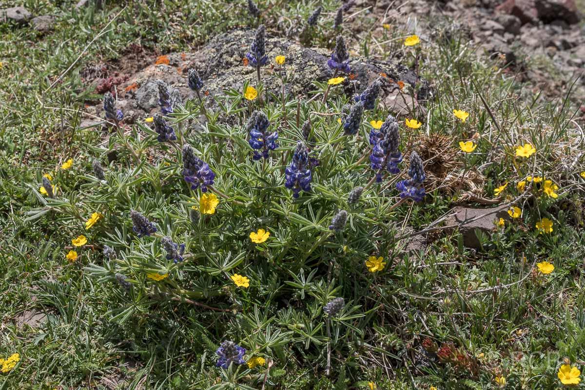 Blüten am Mount Washburn Trail, Yellowstone NP