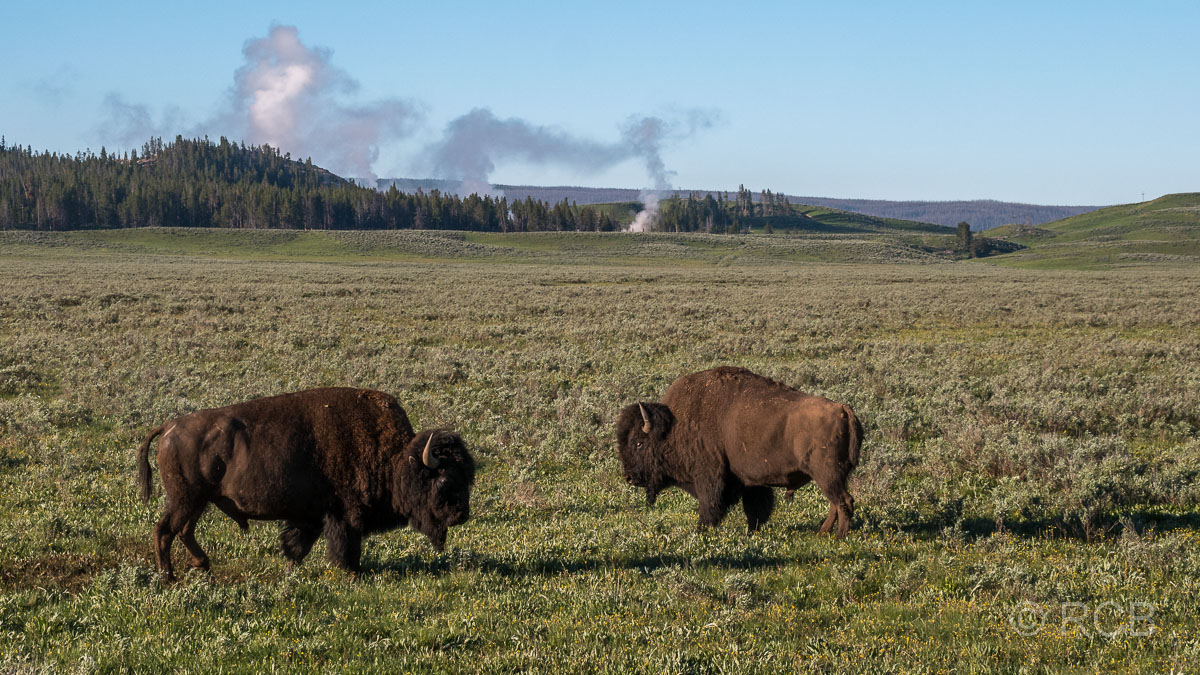 Bisons an der Grand Loop Road, Yellowstone NP