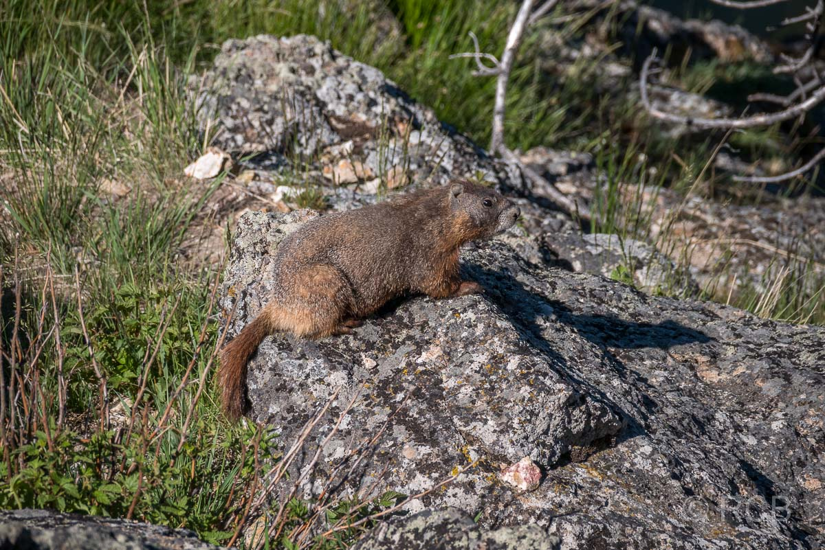 Murmeltier am Storm Point, Yellowstone NP