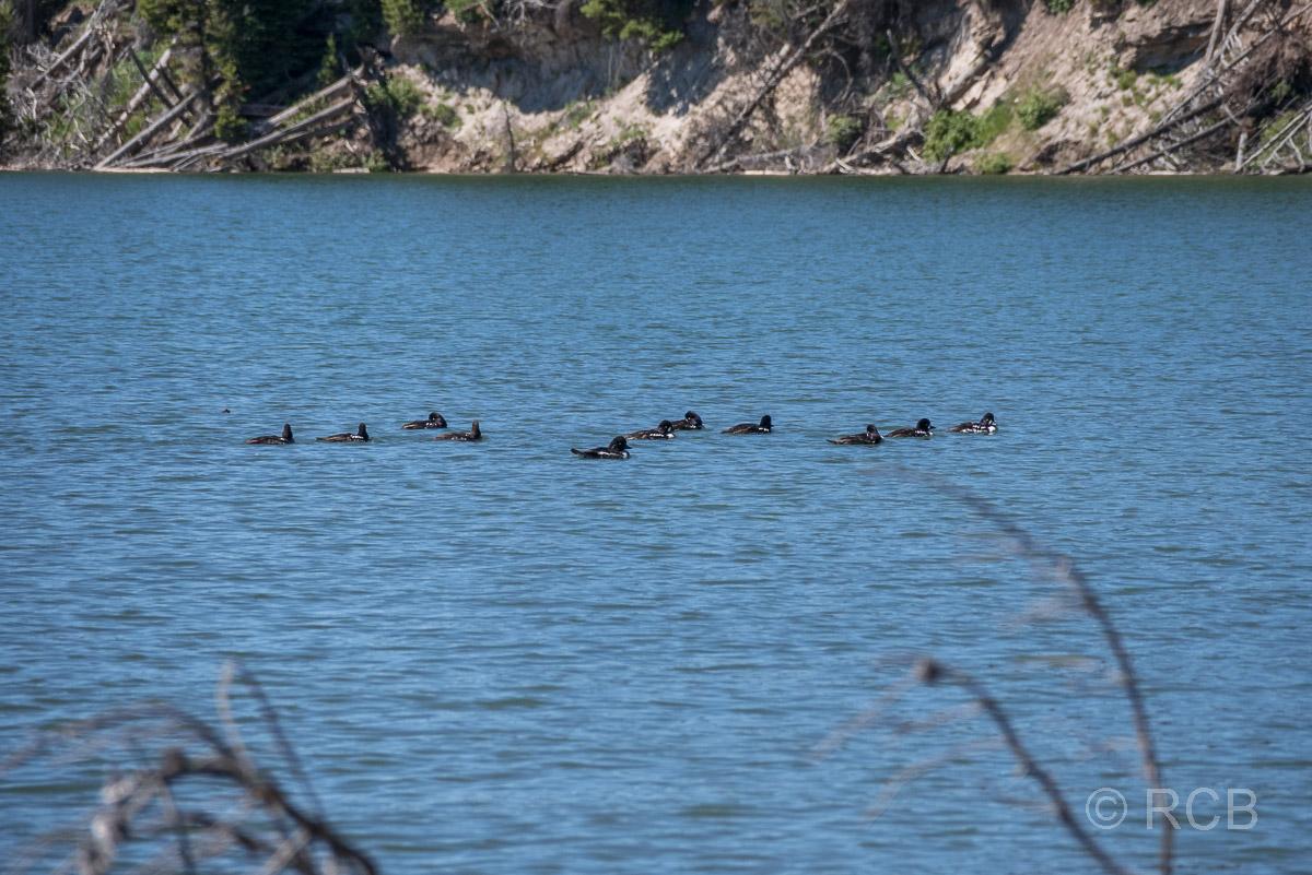 Enten auf dem Yellowstone Lake, Yellowstone NP