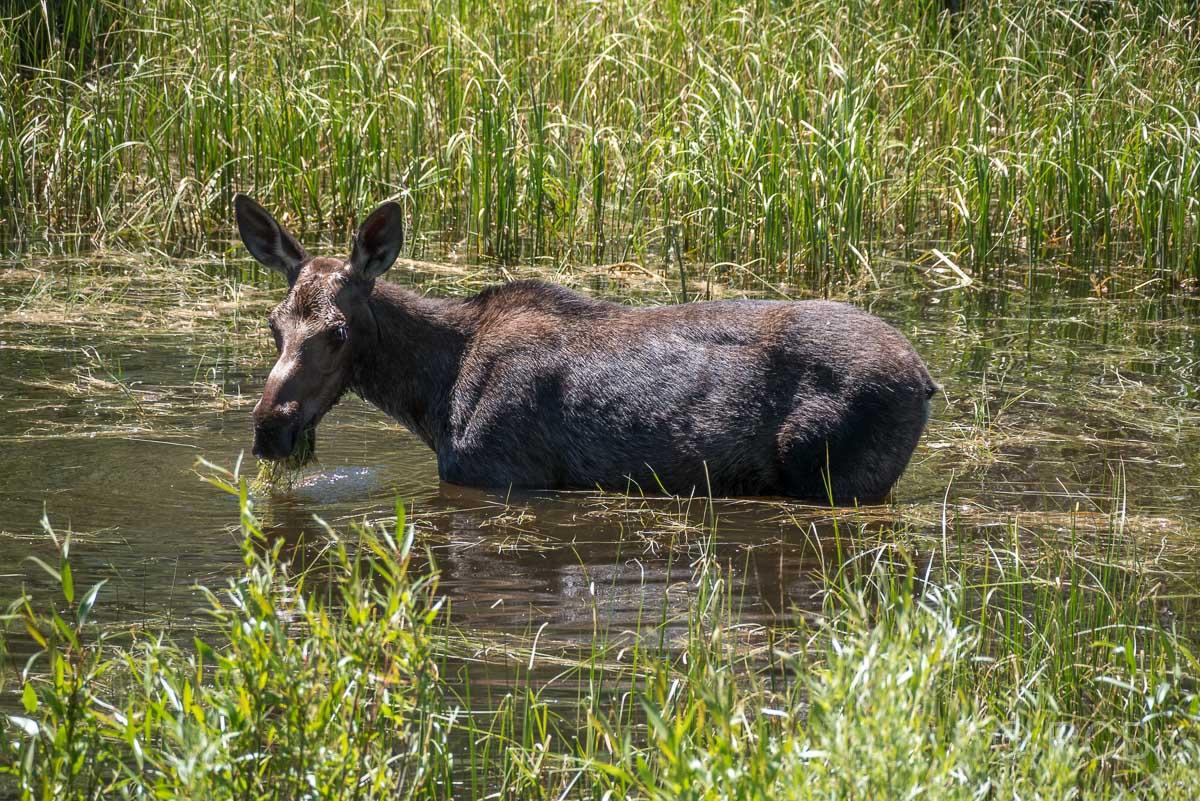 Elchkuh steht im Wasser im Tal des Shoshone River