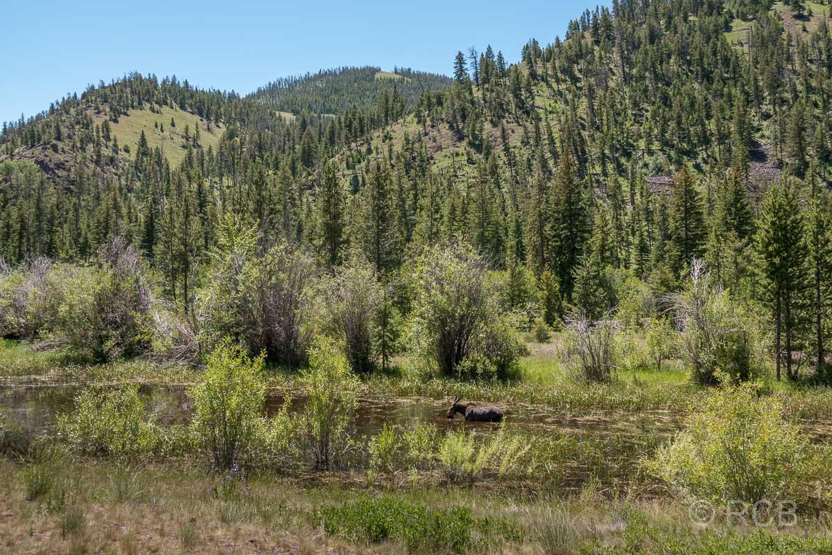 Elchkuh im Tal des Shoshone River