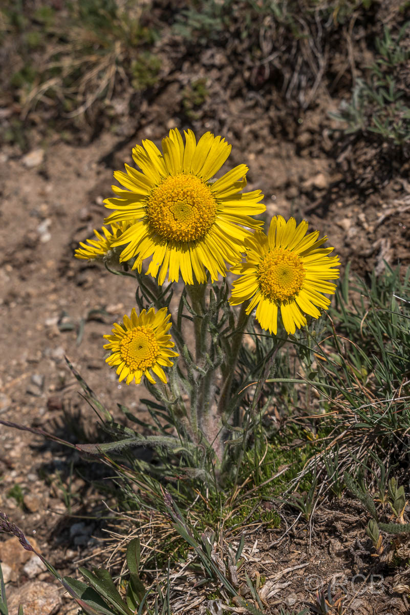 gelbe Blüten am Mount Ida Trail, Rocky Mountain NP