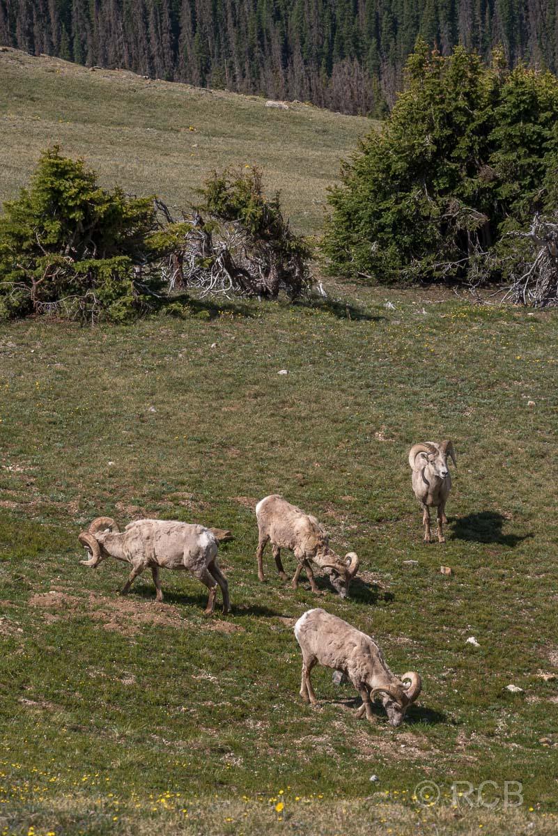 Dickhornschafe, Rocky Mountain NP
