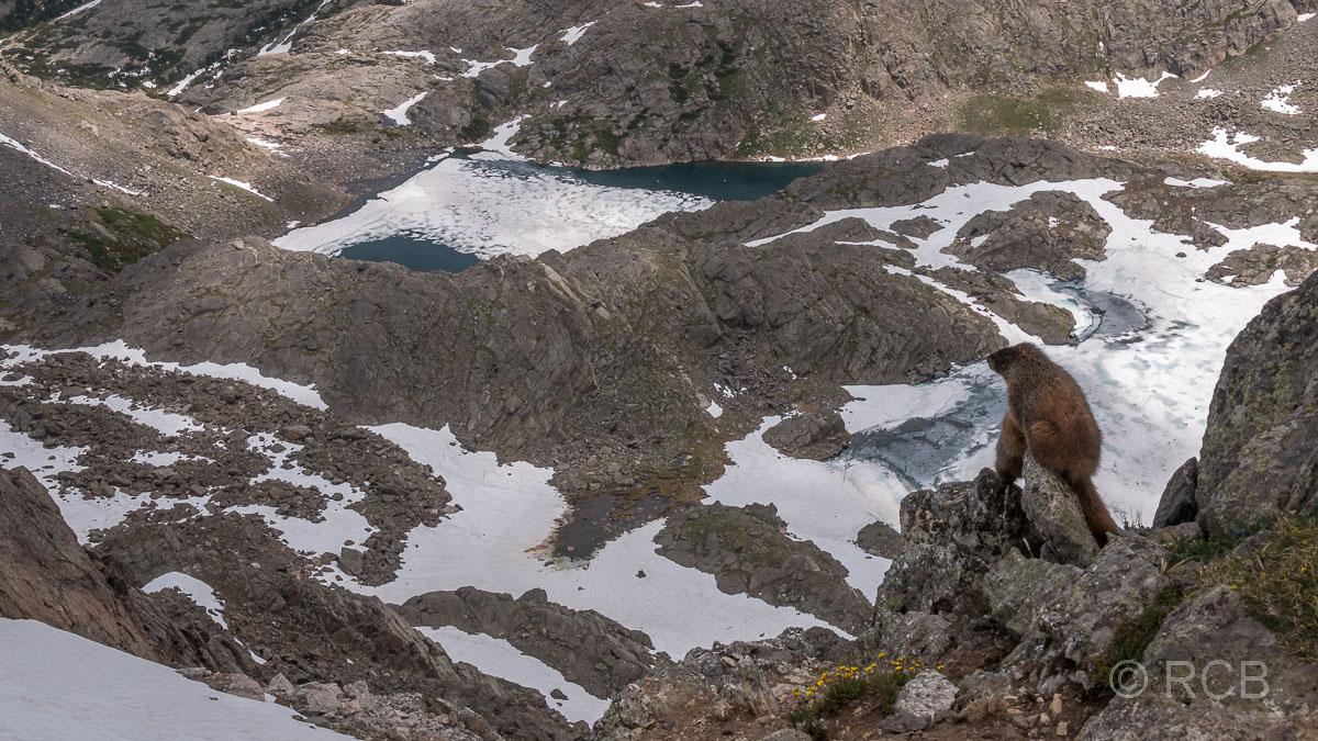 Murmeltier blickt über eine schneebedeckte Landschaft, Mount Ida Trail, Rocky Mountain NP