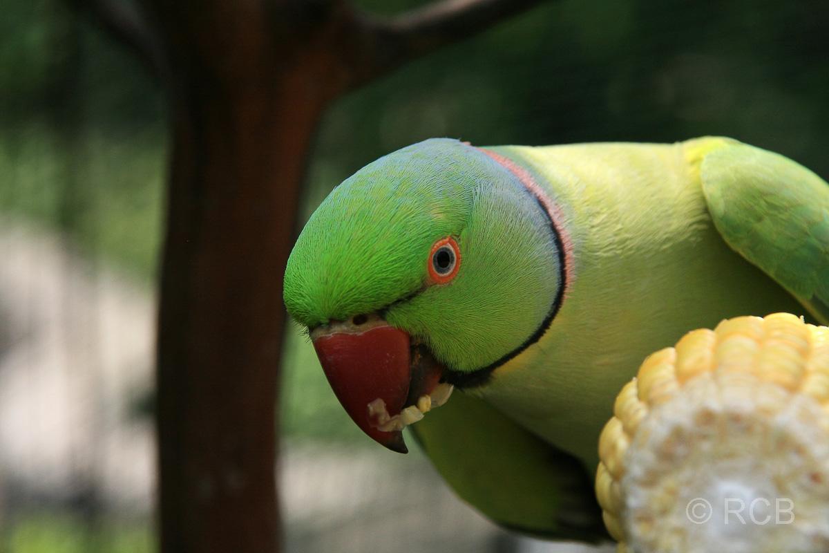 Sittich im Vogelpark im Lake Garden