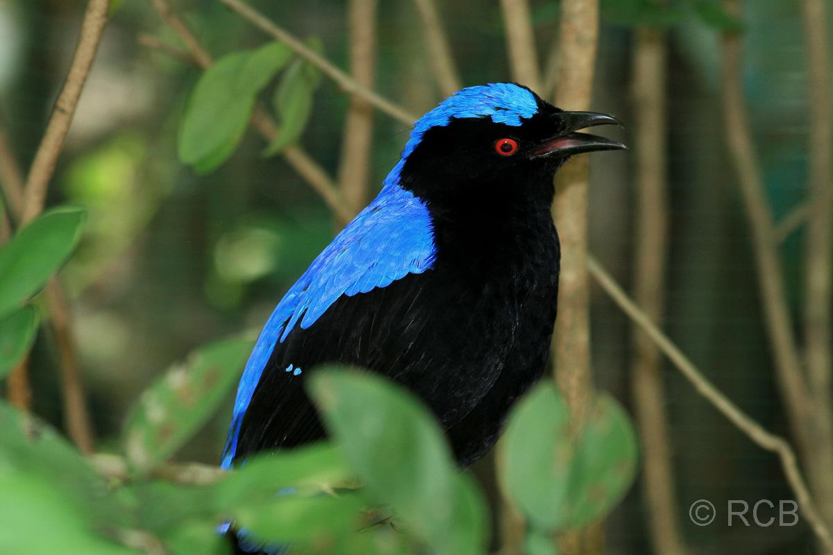 schwarz-blauer Singvogel im Vogelpark im Lake Garden