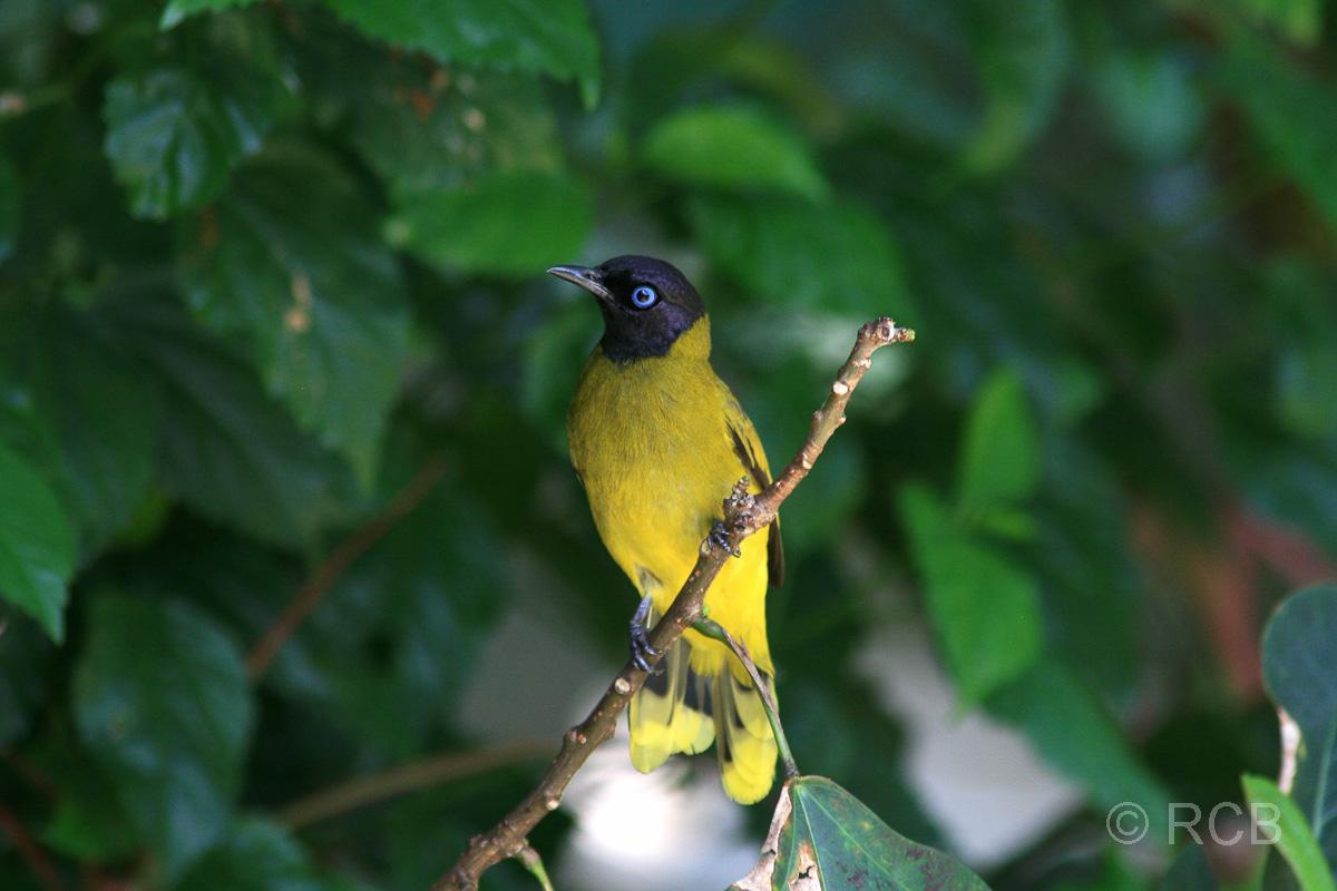gelber Vogel im Vogelpark im Lake Garden