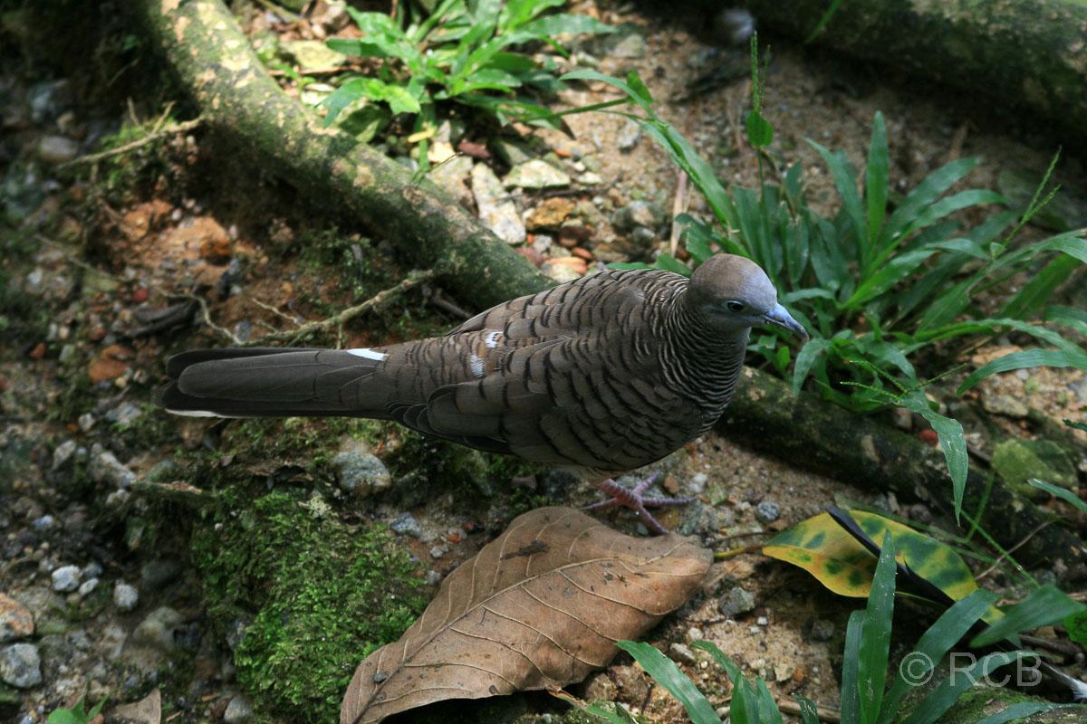 Taube im Vogelpark im Lake Garden