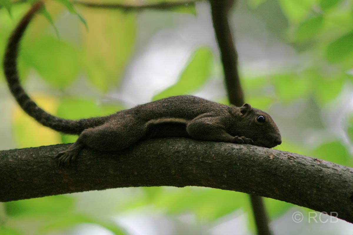 Hörnchen im Vogelpark im Lake Garden