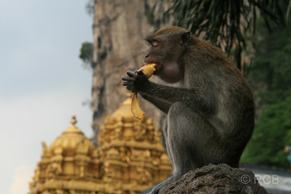 Affe verzehrt eine Banane an den Batu Caves