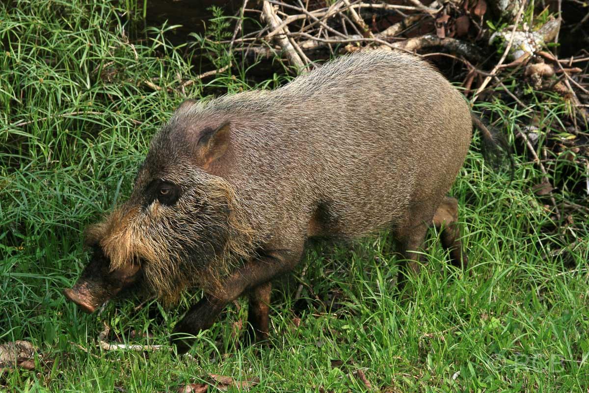 Bartschwein, Bako Nationalpark