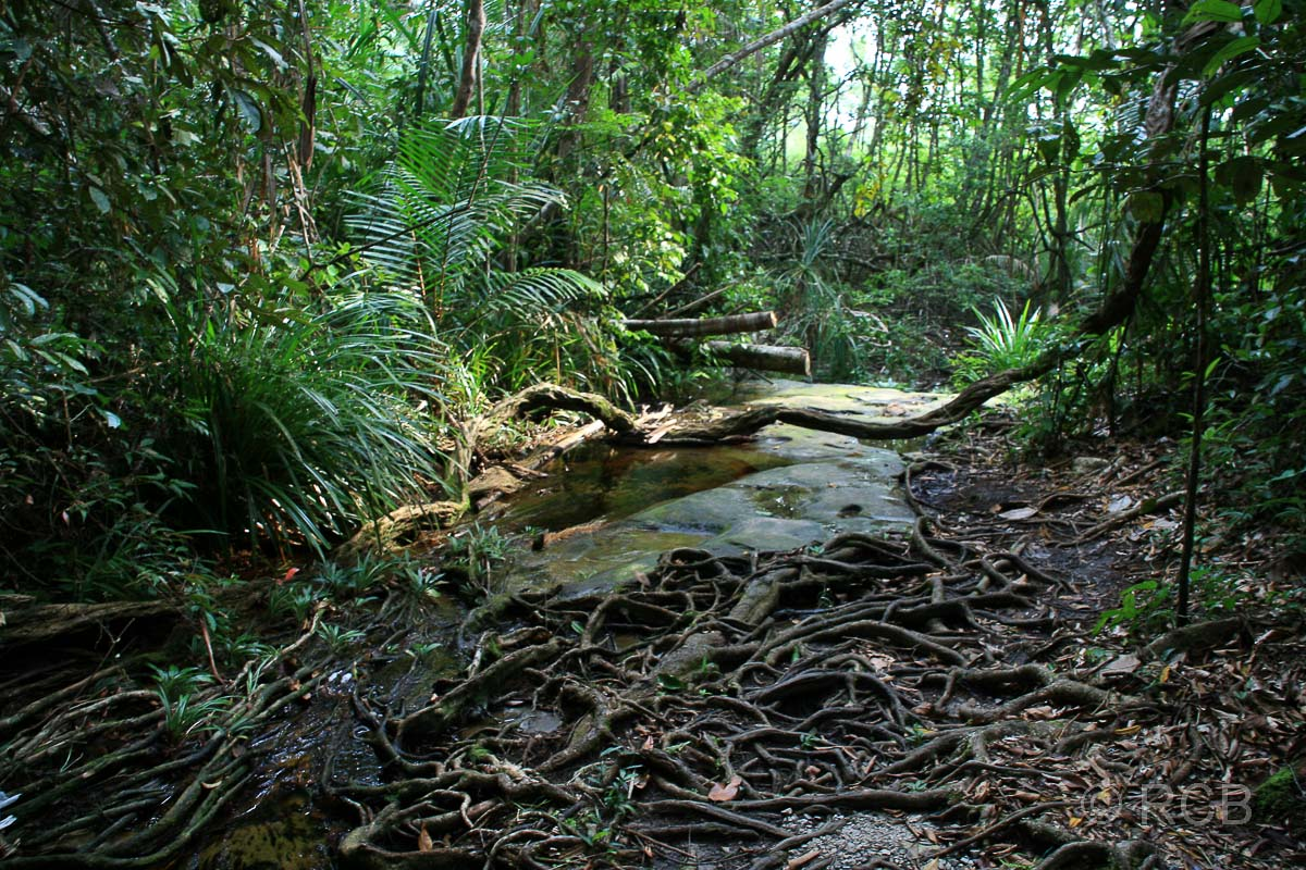 wurzelübersäter Wanderweg zur Bucht Teluk Delima, Bako Nationalpark