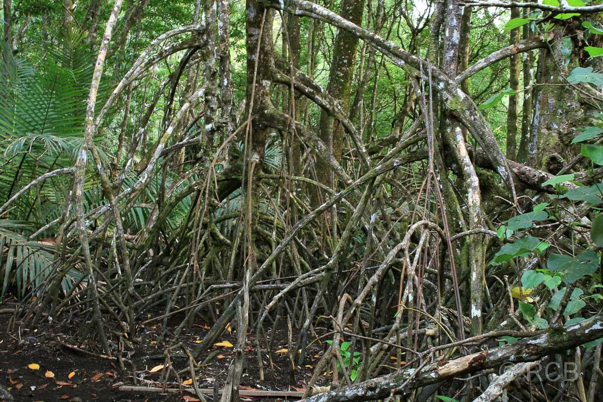 Mangroven an der Teluk Delima, Bako Nationalpark