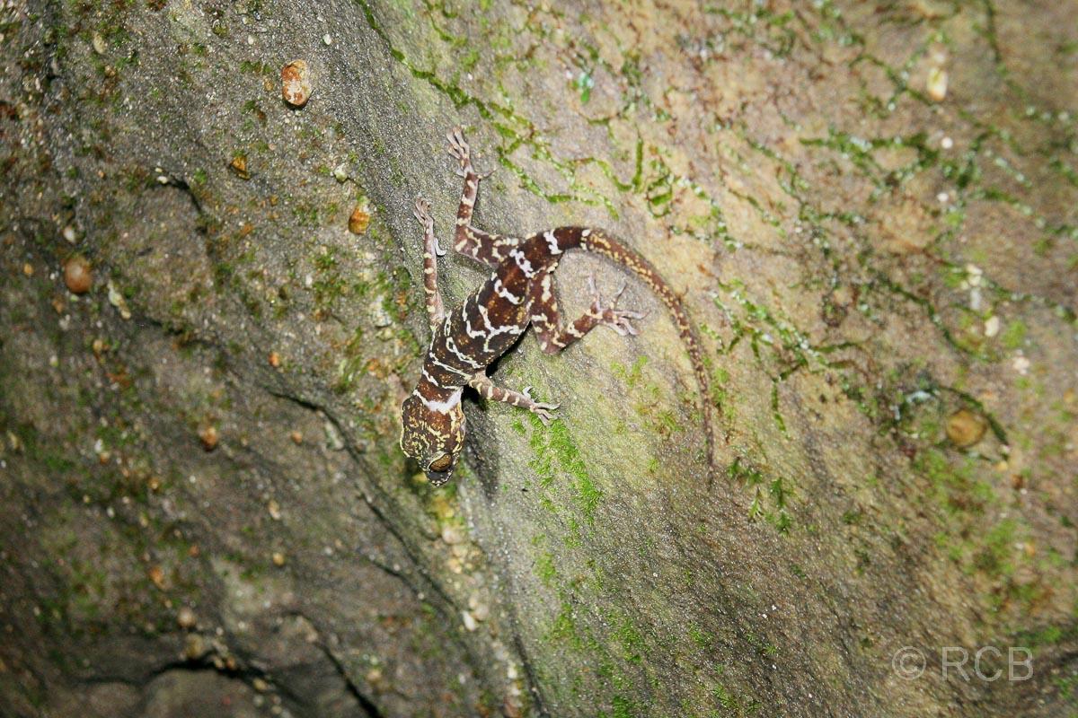 Gekko auf der Nachtwanderung, Bako Nationalpark