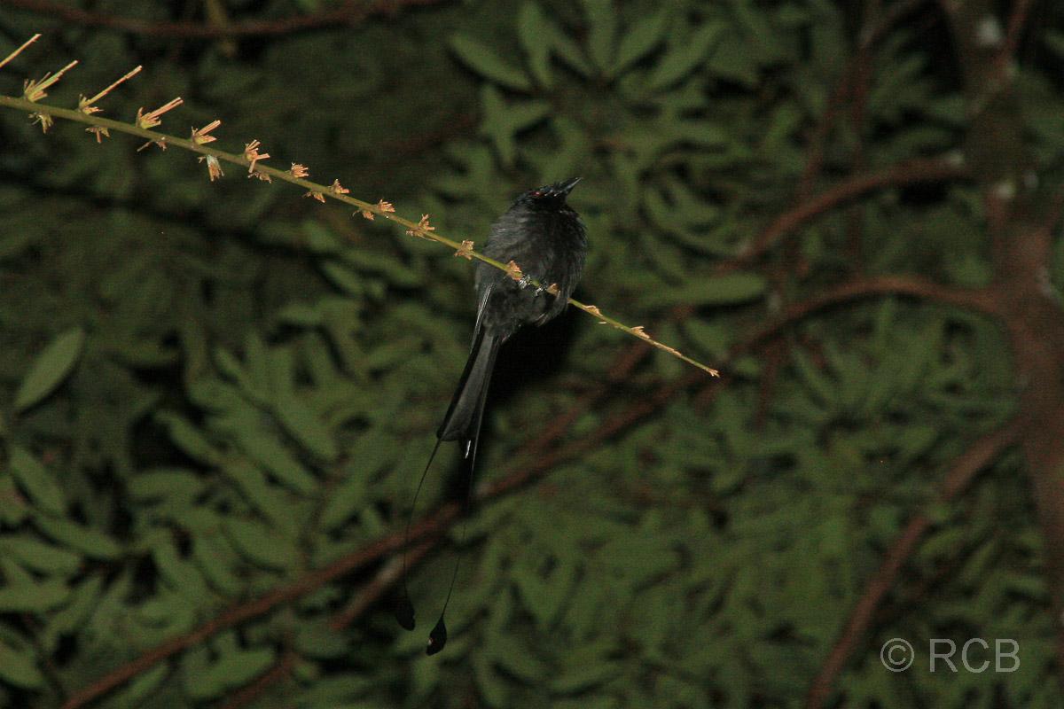 Drongo auf der Nachtwanderung, Bako Nationalpark