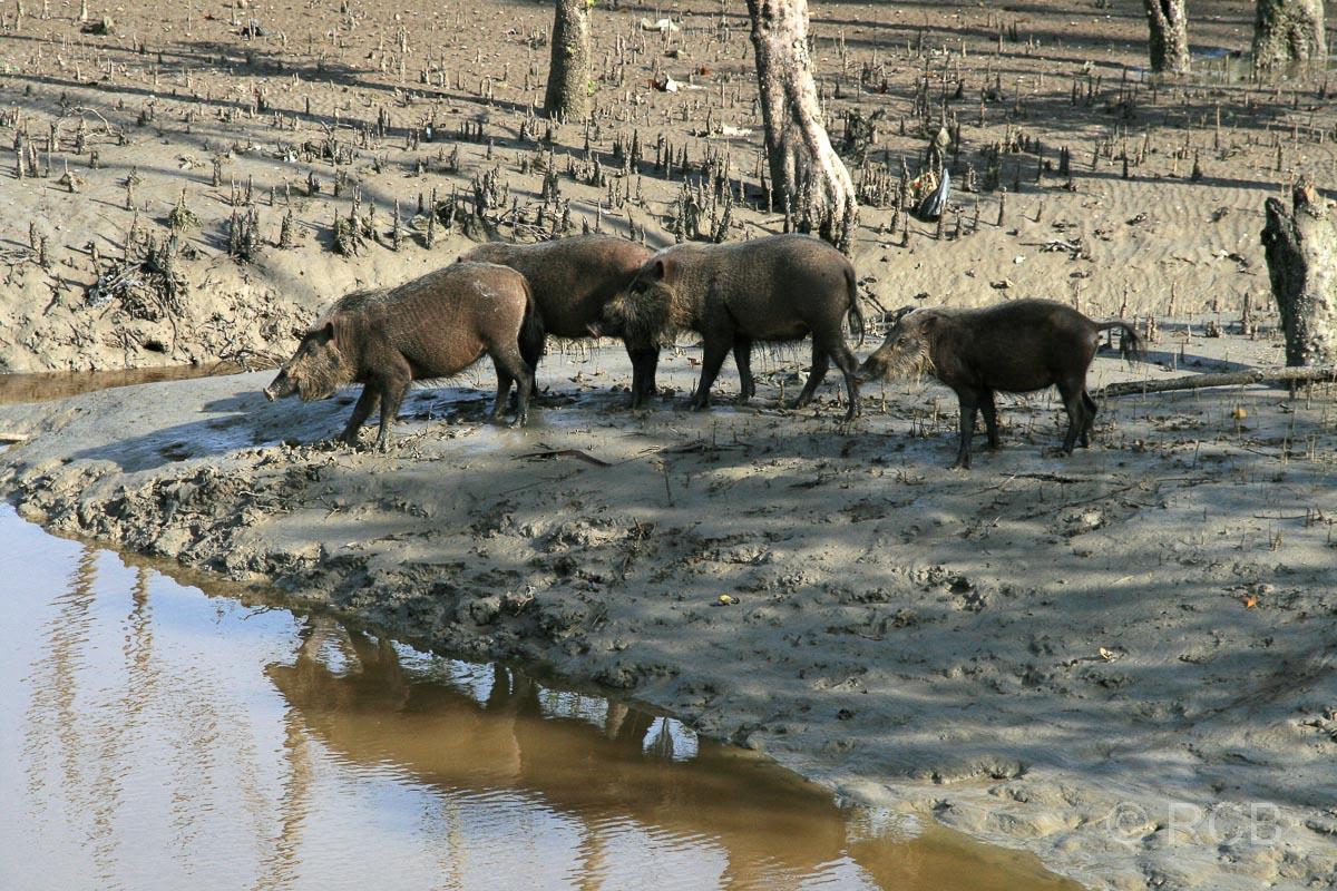 Bartschweine, Bako Nationalpark