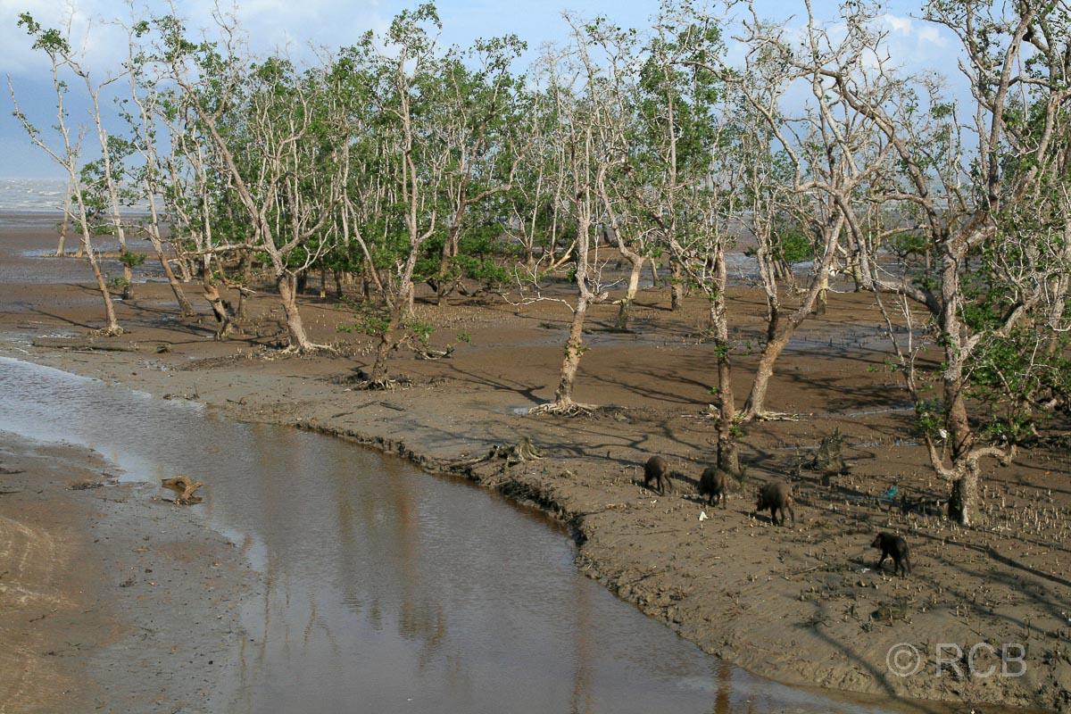 Bartschweine in den Mangroven, Bako Nationalpark