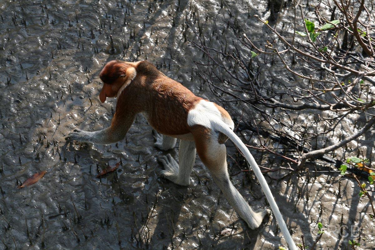 Nasenaffe, Bako Nationalpark
