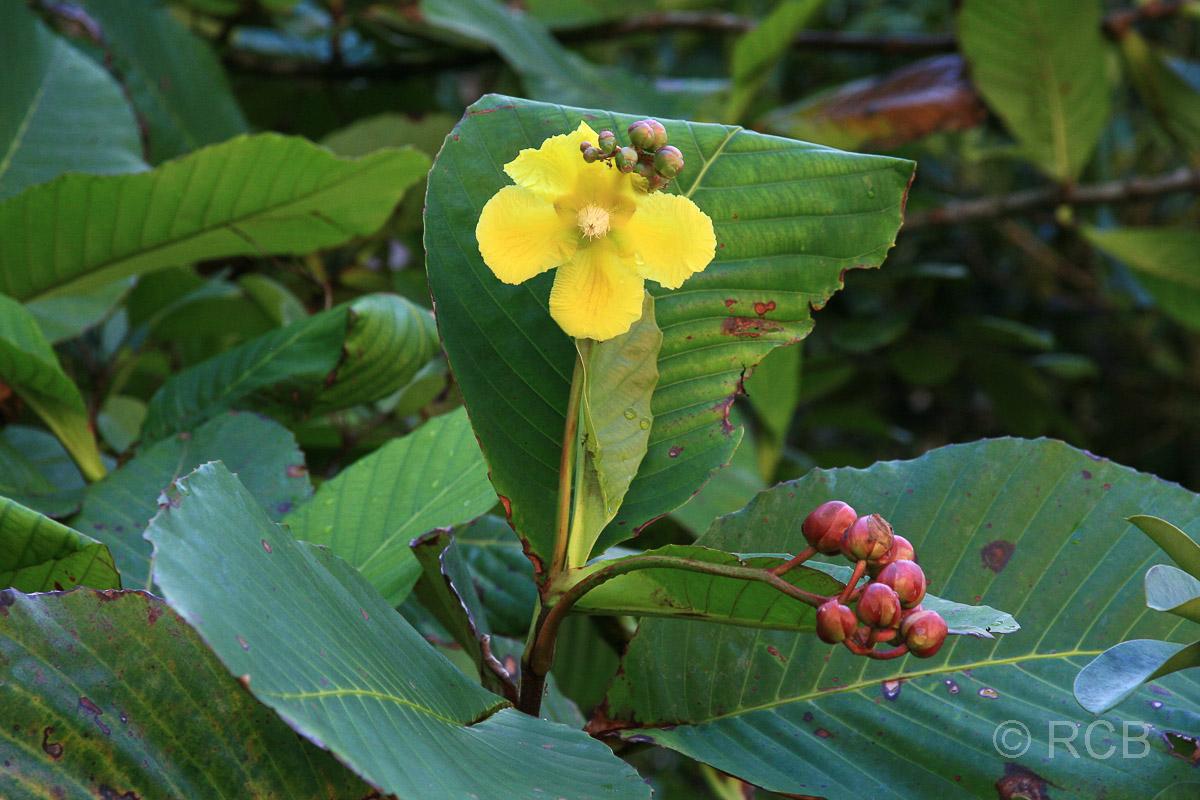 gelbe Blüte im Bako Nationalpark