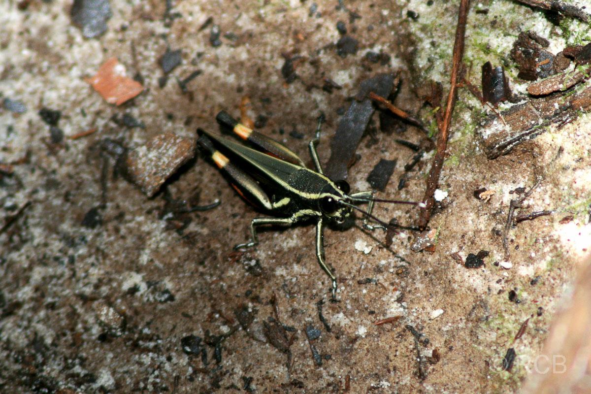 buntes Insekt im Bako Nationalpark