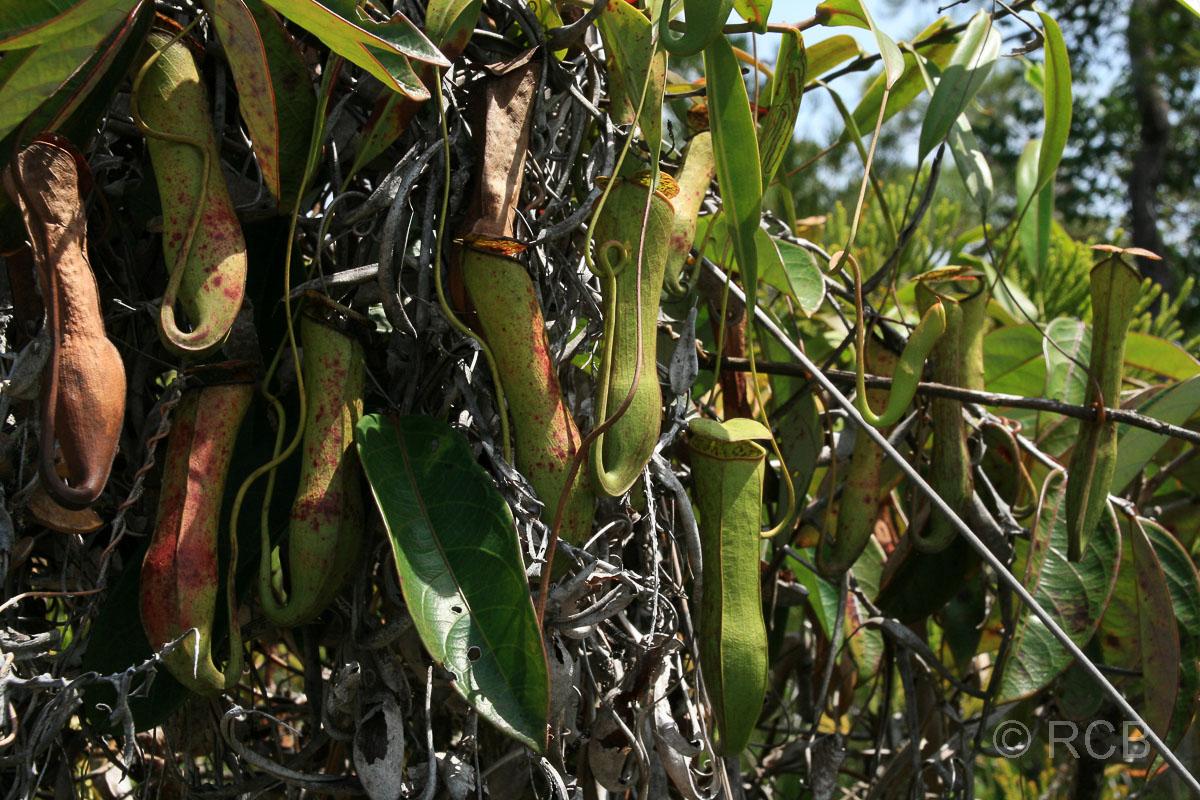 Kannenpflanzen, Bako Nationalpark