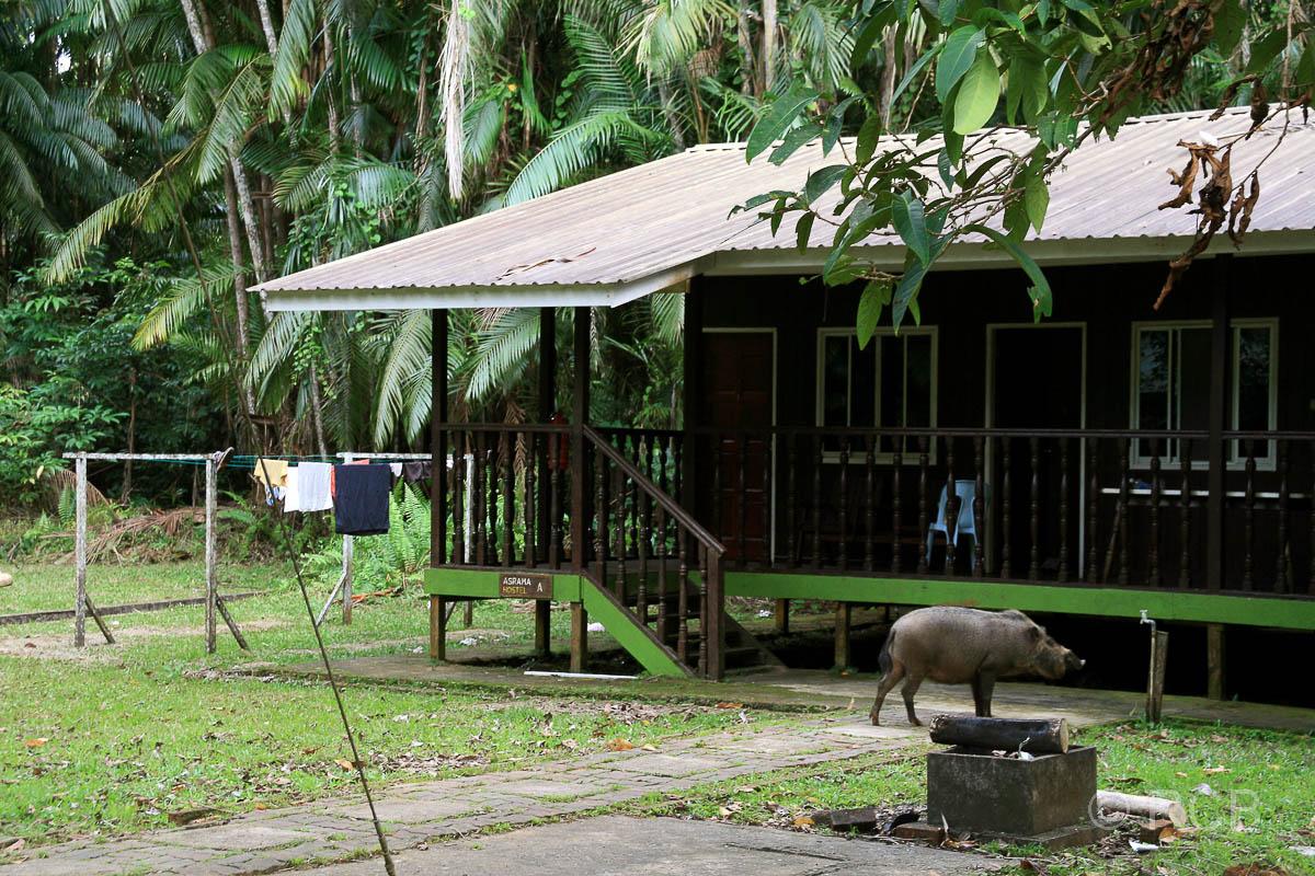 Bartschwein vor einer Touristenhütte, Bako Nationalpark