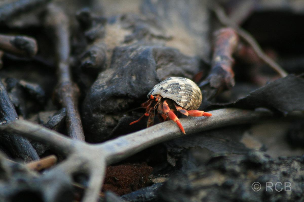 Einsiedlerkrebs, Bako Nationalpark