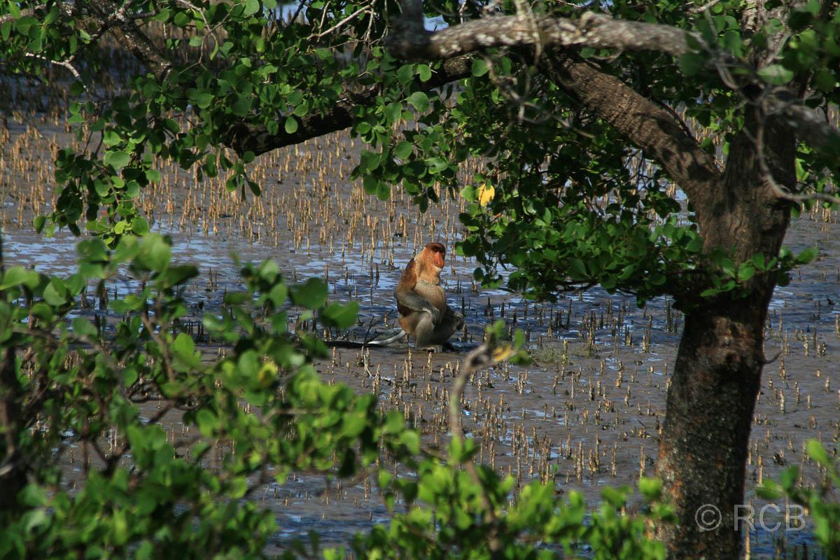 Nasenaffe in den Mangroven, Bako Nationalpark
