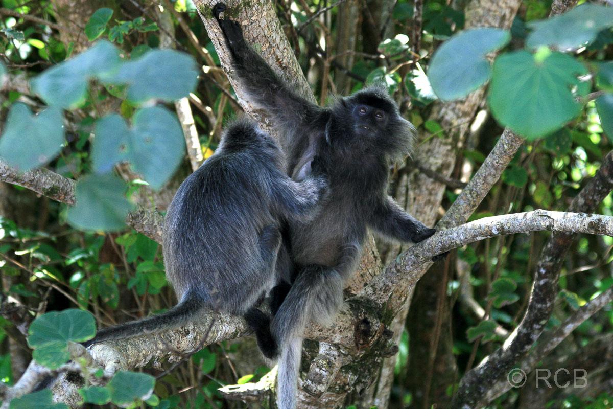 Silberlanguren, Bako Nationalpark
