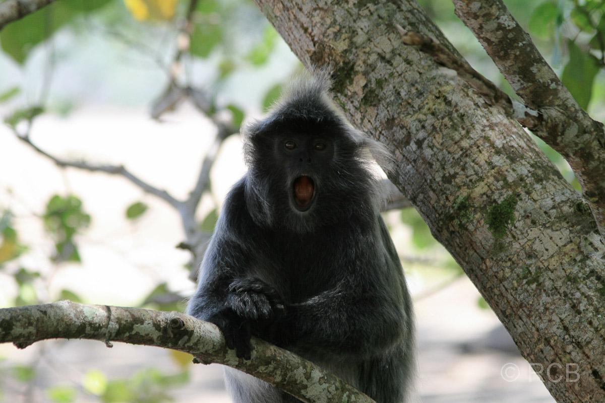 Silberlangur, Bako Nationalpark