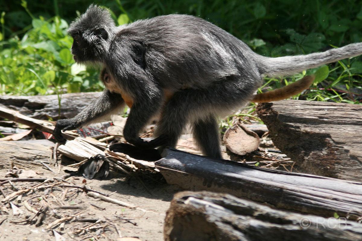 Silberlangur mit Jungem, Bako Nationalpark