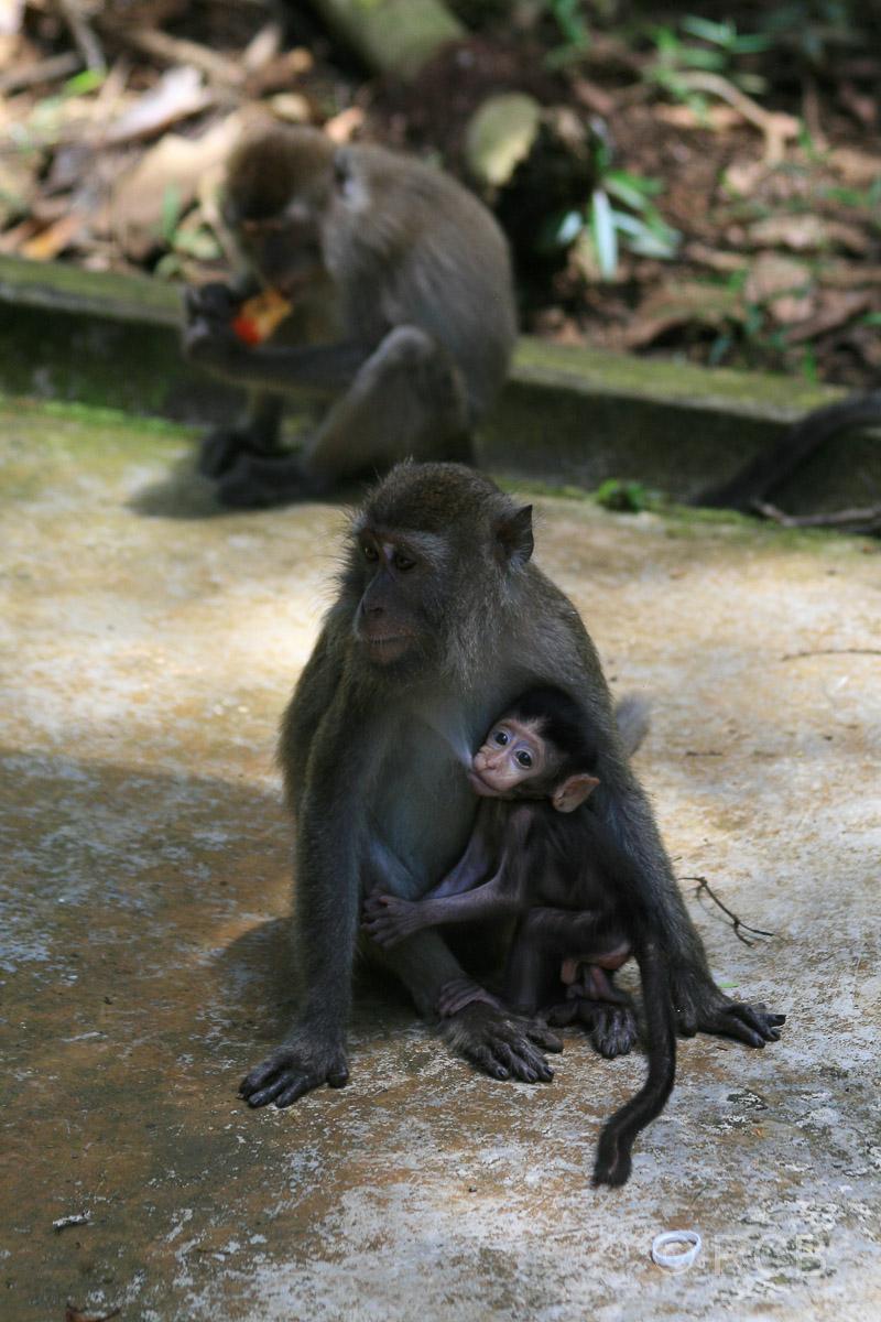 Makaken, Bako Nationalpark