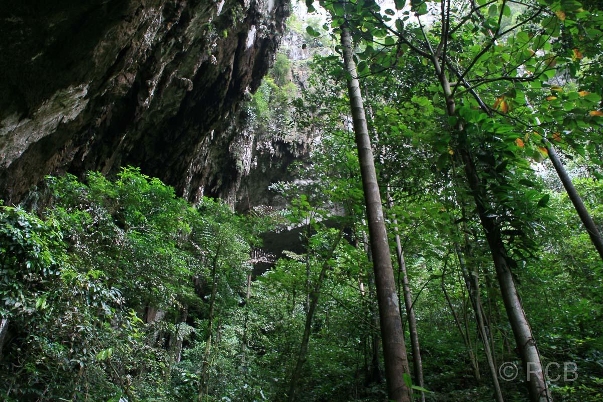 Bäume am Ausgang der Deer Cave, Mulu Nationalpark