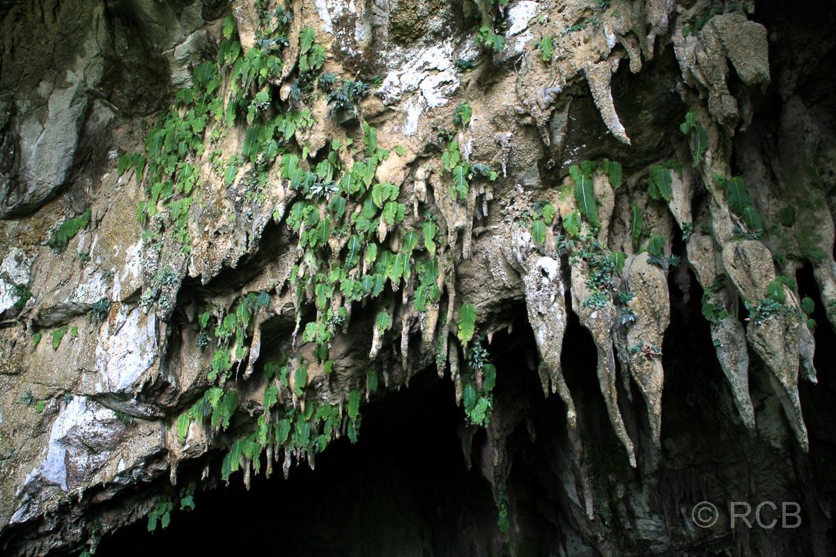 Tropfsteine am Eingang zur Clearwater Cave, Mulu Nationalpark