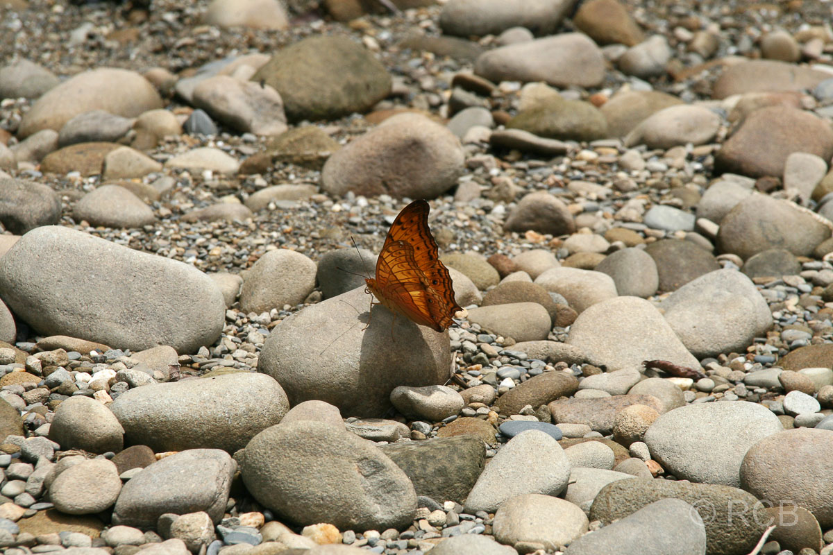 Schmetterling am Ufer des Sungau Melinau, Mulu Nationalpark