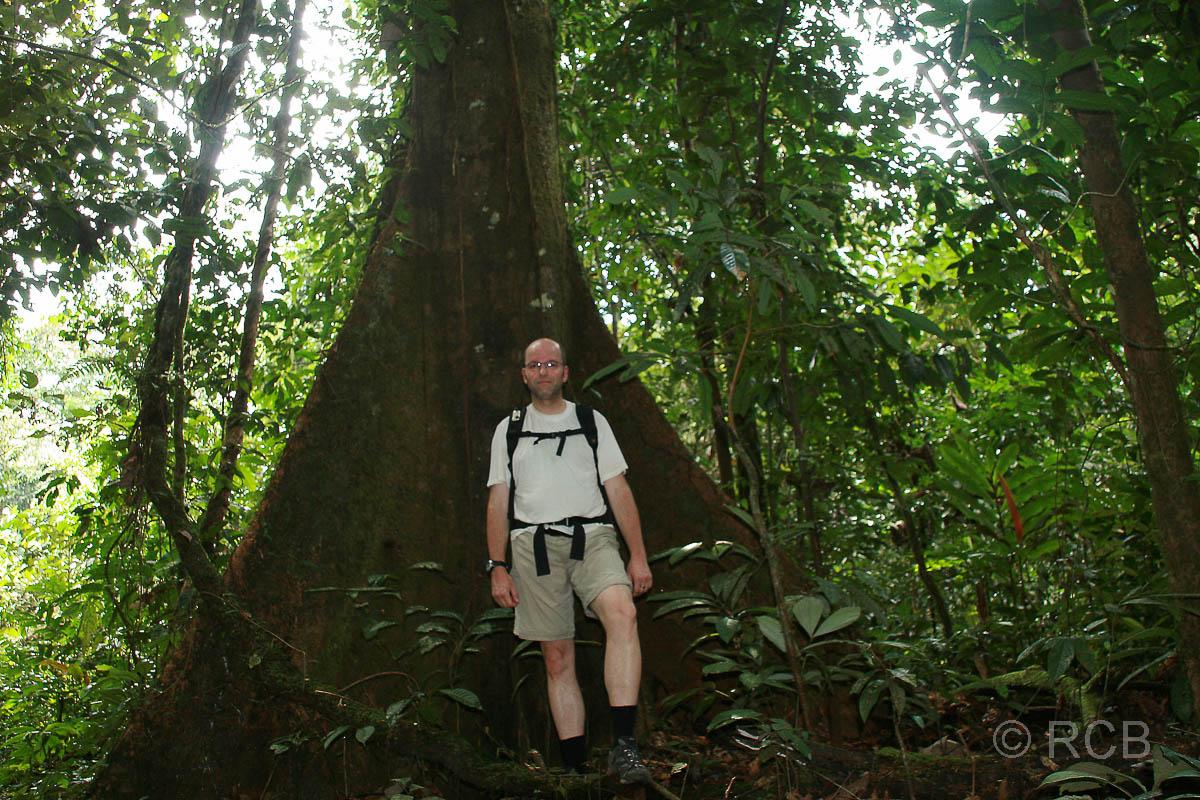 Mann vor Urwaldriesen mit Brettwurzeln auf dem Trail zum Camp 5, Mulu Nationalpark