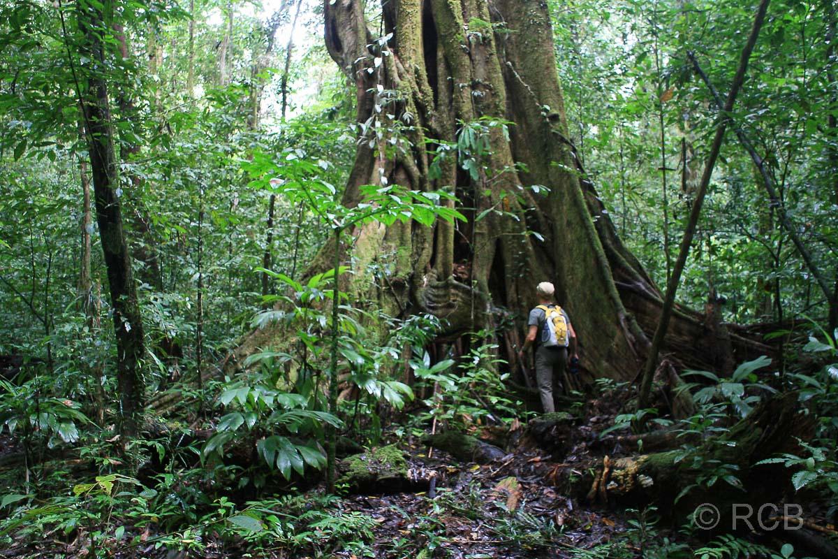 Mann vor riesigem Urwaldbaum mit Brettwurzeln auf dem Headhunter's Trail, Mulu Nationalpark