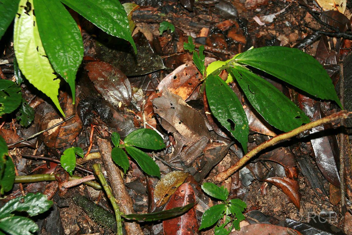 Borneo-Hornfrosch beim Aufstieg zu den Pinnacles, Mulu Nationalpark